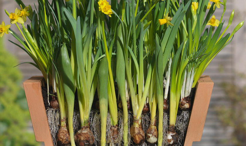 Тюльпаны и нарциссы в саду