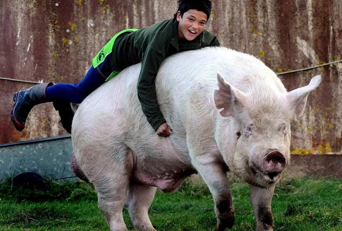 озеро самая большая свинья в мире фото женщина делится тем