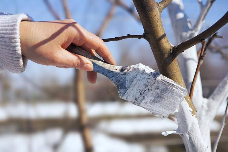 Побелка деревьев в саду в марте