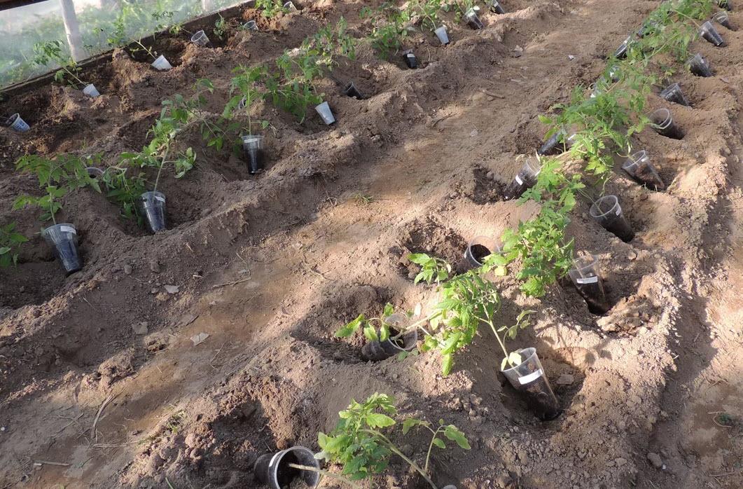 Квадратно-гнездовая схема высадки рассады томатов в грунт